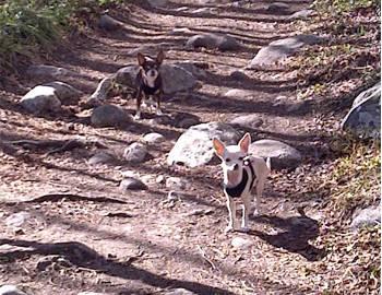 Hiking Peaks Trail Breckenridge Colorado Mountain Chihuahas