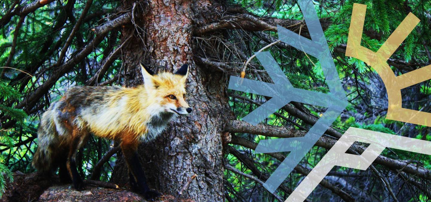 Fox on Tree in Summit County Colorado