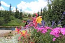 Spring Flowers in Breckenridge