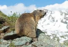 Marmot in the high country